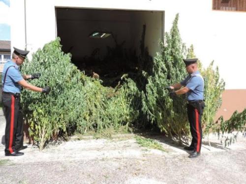 affittano terreno agricolo per coltivare marijuana
