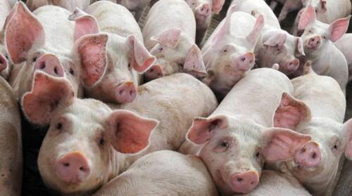Maiali infetti, nuovo allarme pandemia dalla Cina